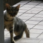 野猫 推定生後六ヶ月たぶん